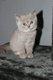 Magnifiques chatons British  longhair et shorthair
