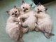 Magnifiques chatons sacré de Birmanie Blue point