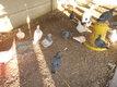 Des pigeons texans pures races