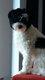 Adorable chien chinois à crête