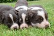 Chiots Border Collie disponibles