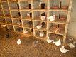 60 pigeons texans de pures races prix a discuter