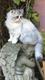 Maj video 19/09 Superbes persans chinchillas et...
