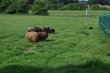 Moutons d'Ouessant et boucs mâles