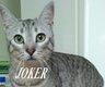 Joker, très beau chat mâle gris tigré de 2 ans ...