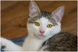 Odilon, très beau chaton mâle blanc et gris tigré