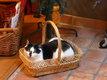 à donner : Capucine, chatte de 6 ans, noire et...