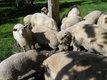 4 males de moutons 2 de 2 ans et 2 du moi de...