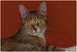 Janna, très belle chatte tigrée aux yeux verts