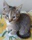 Milo, très beau chaton mâle tigré gris et beige