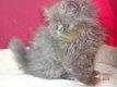 Magnifiques chatons persan à réserver