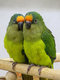 Couple reproducteur conure aurea