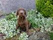 Adorable labrador chocolat  femelle