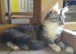 2 jeunes chattes disponibles élevage/compagnie