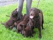 Chiots Labrador Chocolat 8 semaines