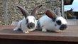 Jeunes lapins géant papillon français