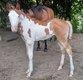 Superbe poulain paint horse sorrel overo aux yeux...