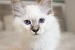 Magnifiques Sacré de Brimanie bleu, lilac,...