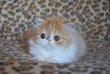 Magnifique chatons persans