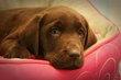 Superbes chiots Labrador Chocolat