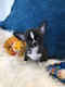 Splendide chiots Chihuahua