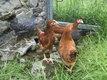 Poules pondeuses + coqs d'ornement