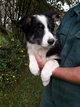 Chiots Border-Collie