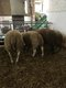 Moutons Texel