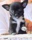 4super bébés  chihuahua poil court