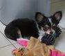 Chihuahua Of Tierras Calientes à poils longs avec...