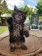 Chaton femelle Maine Coon [cherche] une gentille...