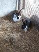 Plusieurs lapins