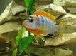 Poissons Cichlidés Labidochromis Hongi 4 cm