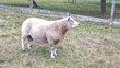 Magnifique mâle de mouton