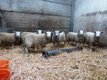 Beaux agneaux  pour la Fête
