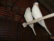 Deux  perruches ondulées Albinos 10   piéce