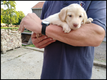 Chiots Labrador couleur chocolat ou crème