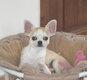 Chihuahua mâle poils courts