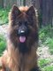 Chienne berger allemand poil long