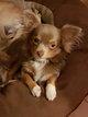 Chez vétérinaire très beaux chiots chihuahuas...