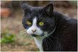 Titus, très beau chat blanc de 22 M yin et yang