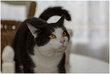 Moïse, très beau chat mâle noir et blanc de 4 ans