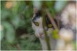 Masha, très belle chatte aux yeux d'or