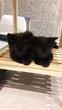 Deux chatons noirs à donner nés d'une mère...