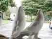 A saisir - 03 couples de pigeons Boulants gantois