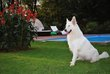 Berger Blanc Suisse Grands Gabarits poils long