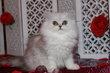 Magnifiques persans Chinchillas disponibles de...