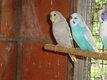 Deux femelles perruches ondulées