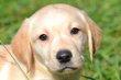 Labrador choco et blond
