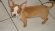 Chiots chihuahua  poils courts disponibles